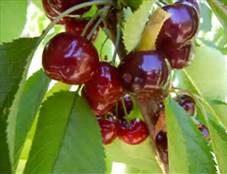 Bing Cherry Tree