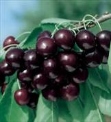 Black Tartarian Cherry Tree