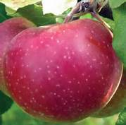 Snow Sweet Apple