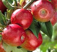 Sweet 16 Apple